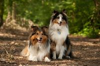 2  border collie dogs in the forest