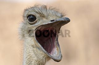Afrikanischer Strauss (Struthio camelus), Portrait, Namibia, Afrika, ostrick, Africa