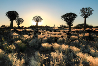 Beautiful african sunset with silhouetted Quiver trees and illuminated grass.