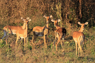 Impalas im Moremi Wildreservat Botswana