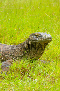 Portrait of Komodo dragon lying in grass on Rinca Island in Komodo National Park, Nusa Tenggara, Indonesia