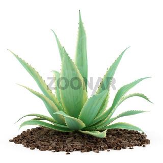 aloe plant isolated on white background