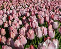 Bewegte Tulpen im Wind, Bollenstreek, Noordwijkerhout, Niederlande