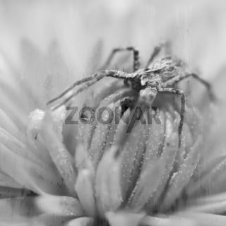 spinne auf einer blüte in schwarz  weiss