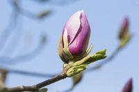 Magnolie, Magnolia