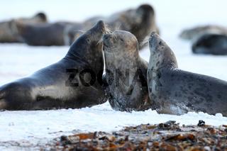 Kegelrobben Halbwuechsige Helgoland