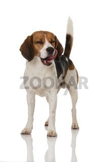 Hund schleckt sich das Maul