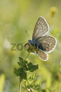 und es ward' Licht... Hauhechel-Bläuling *Polyommatus icarus*