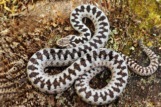 beautiful crossed adder male