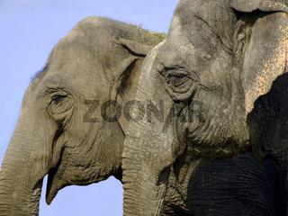 Elefanten / elephant