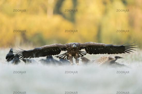 beeindruckende Flügelspannweite... Seeadler *Haliaeetus albicilla*