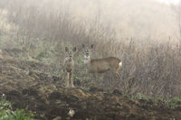roe deer doe with calf in foggy autumn morning