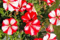 Flowering petunias on a garden in summer
