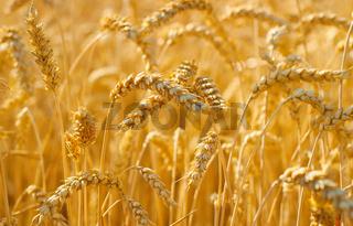 Wheat field crop. Background