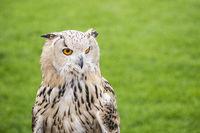 Eurasian eagle owl (bubo bubo) on green blurred background