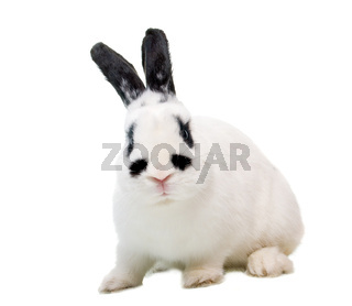 rabbit with raised ear isolated