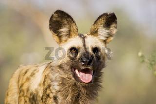 Afrikanischer Wildhund (Lycaon pictus), Portrait, Namibia, Afrika, african wilddogs, Africa