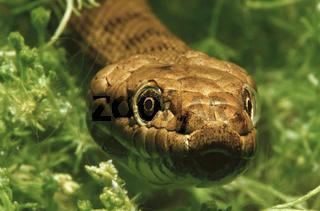 Wuerfelnatter, Natrix tessellata, Dice snake
