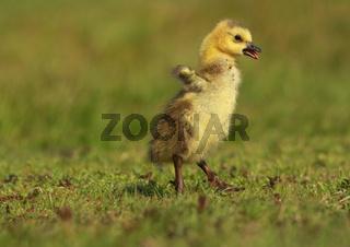 Kanadagans, mit Jungen, Branta canadensis, canada goose with young