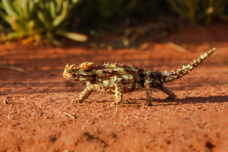 Close up of a Thorny Devil in the Australian outback, profile, Northern Territory, Australia