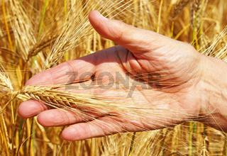 Getreide Ernte