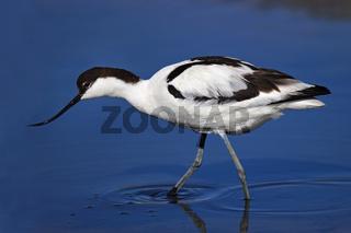 Saebelschnaebler, Recurvirostra avosetta, pied avocet