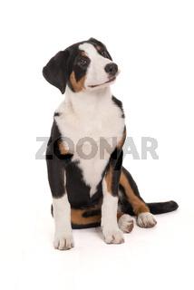 appenzeller sennenhund in ganzansicht