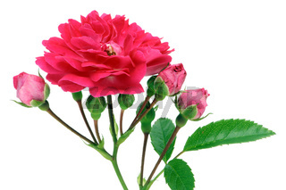 Isolated  pink rose with buds