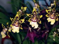 Orchiddeen - Orchids