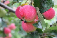 Red ripe apples on branch 20520