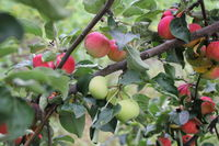 Red ripe apples on branch 20518