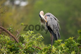 Great Blue Heron preening its feathers. It is the largest North American heron.