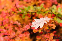 Red and yellow oak tree leaves falling down on earth in autumn