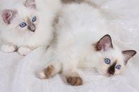HEILIGE BIRMA KATZE, BIRMAKATZE, SACRED CAT OF BIRMA, BIRMAN CAT, LITTER, LIEGEND,
