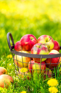 Red healthy organic apples in basket on green  grass in garden, harvest