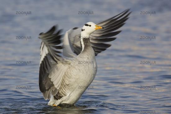 Streifengans, Anser indicus, Bar-headed Goose