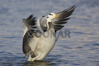 Streifengans, Anser indicus, Bar-headed Goose