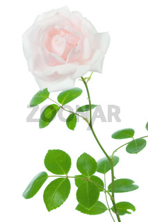 Rose on white.