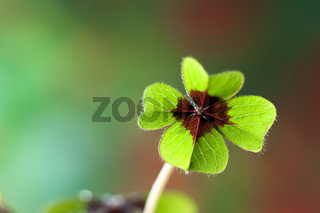 Four - Leaved Clover