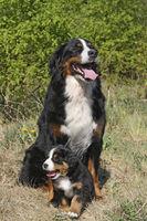 Berner Sennenhund mit Welpen