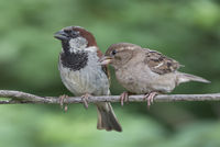 Two House Sparrows