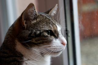 Hauskatze am Fenster