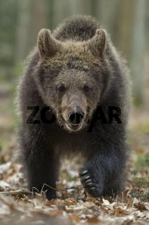 frontaler Anlauf... Europäischer Braunbär *Ursus arctos*