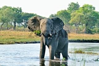 stehend und warnend im Wasser der grosse Elefant
