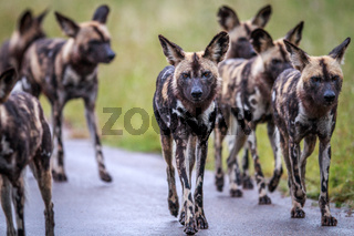 African wild dogs walking towards the camera.