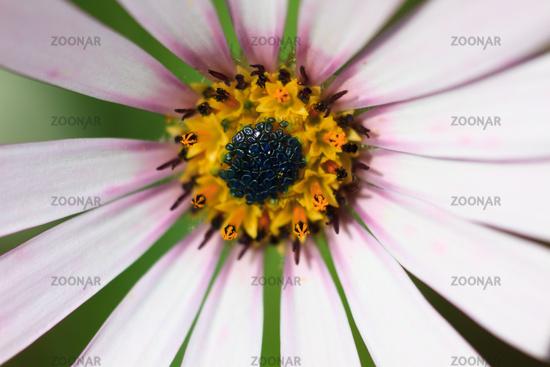 Extreme Macro of a white cape daisy