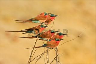 Karminspinte, Bienenfresser (Merops nubicoides) am Sambezi, Namibia, Afrika, Carmin Bee-eater, Zambezi, Namibia, Africa