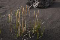 Island, Gräser im Hochland