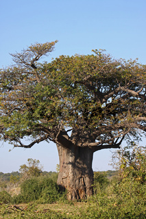Baobab, Affenbrotbaum, Chobe Nationalpark Botswana
