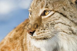 Europaeischer Luchs (Lynx lynx) im Schnee, European lynx in snow